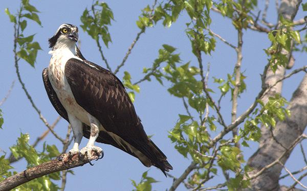 Ospreys in New Jersey