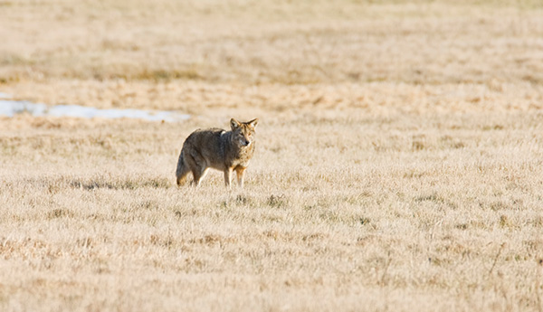 Coyotes in New Jersey