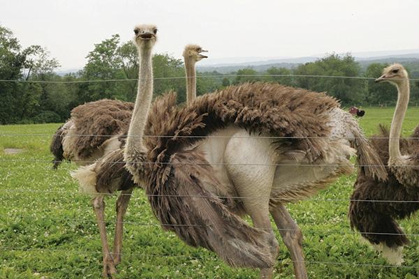 Ostrich Farms