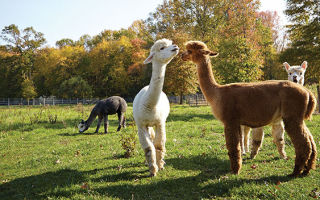 Alpacas socialize at Scotia Acres in Lumberton.