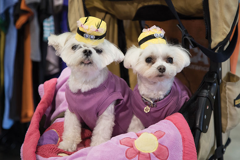 Taffany and Mia are alert dogs for Tammy Berger, who suffers from asthma. The Maltese duo donned Minion dresses and hats and rode in a stroller.
