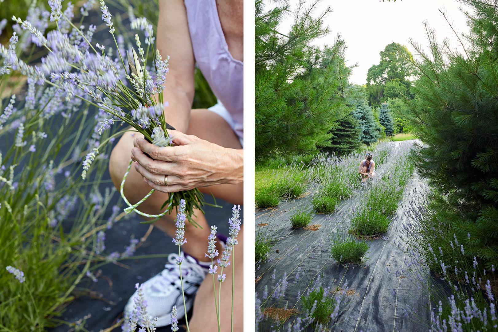 Pleasant Valley Lavender farm