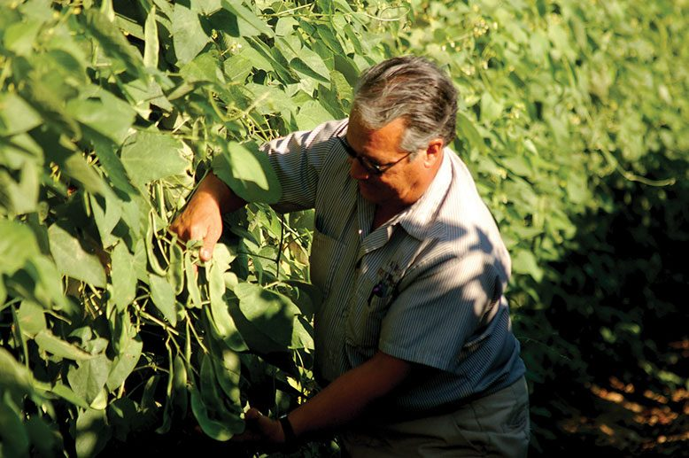 Carmen LaRosa inspects his delicate lima pods to see if they are ready for harvest.